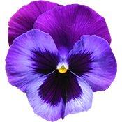 05-violet-flower-175