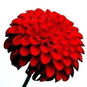 01-red-flower-175